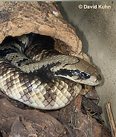 0504-1101  False Water Cobra (Rear-fanged), Resting Partially Under Log, Detail of Head, Brazil, Hydrodynastes gigas  © David Kuhn/Dwight Kuhn Photography
