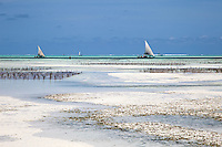 Jambiani, Zanzibar, Tanzania.  Zanzibar's Eastern Shore at Low Tide.  The protective reef is about a mile offshore.  Rows of sticks in the middle distance anchor rows of seaweed planted by village women.