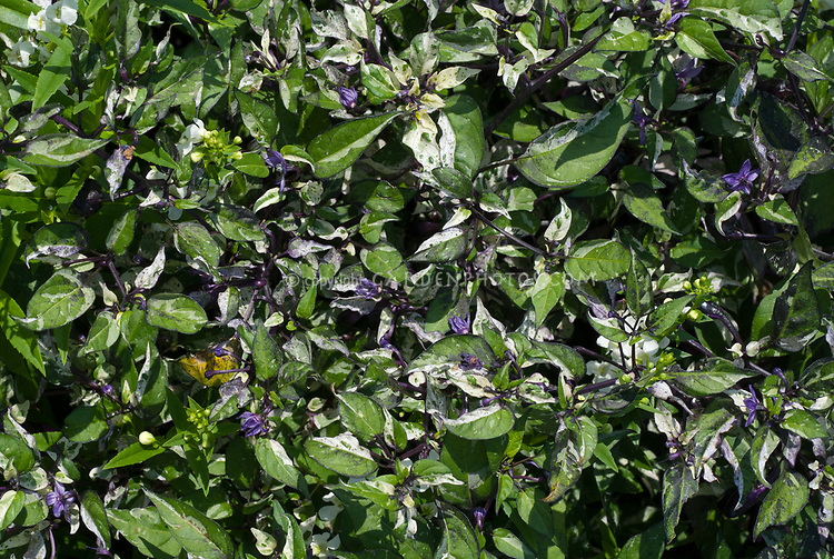 Capsicum Tricolor Variegatum 'Hot Purple' variegated ornamental hot pepper vegetable