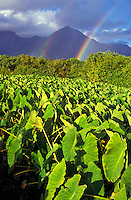 Rainbow over taro fields in Hanalei, North shore on the island of Kauai