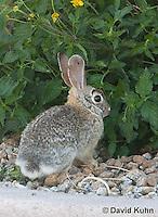 0228-1206  Desert Cottontail Rabbit (Audubons Cottontail), Sylvilagus audubonii  © David Kuhn/Dwight Kuhn Photography