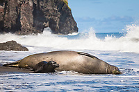 Hawaiian monk seal, Neomonachus schauinslandi ( Critically Endangered species, endemic to Hawaiian Islands ), and two week old pup are struck by a wave while resting on beach, Waimanu Valley, Hawaii Island ( Pacific Ocean )