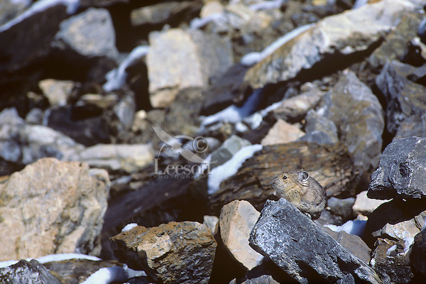 American Pika (Ochotona princeps) in alpine rock field habitat.  Northern Rockies.