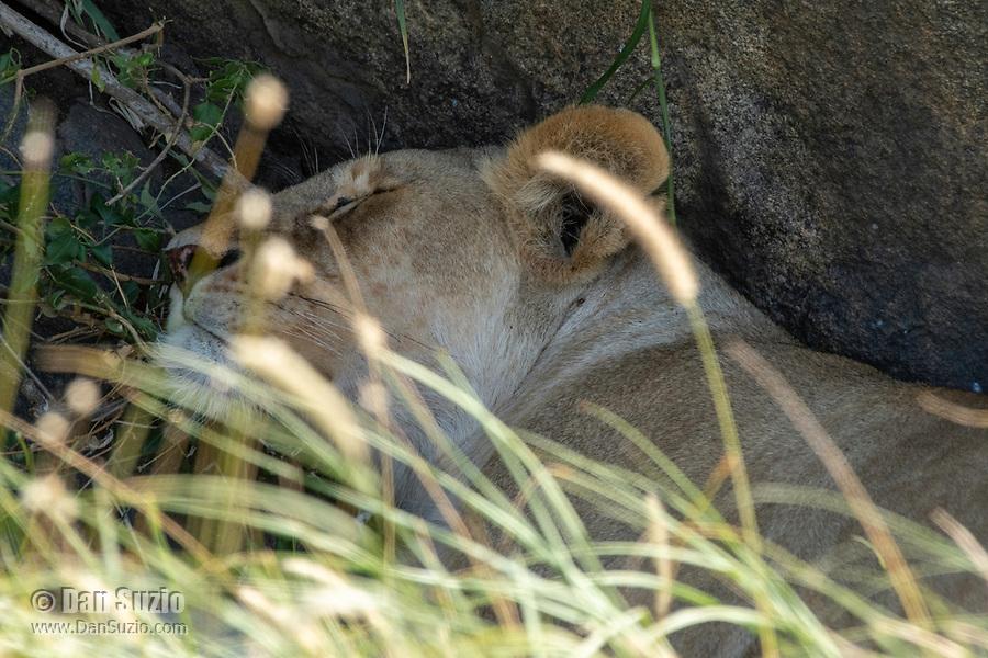 A female Lion, Panthera leo  melanochaita, sleeps in the shade of a large boulder in Serengeti National Park, Tanzania