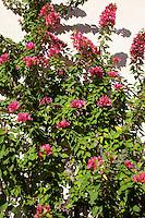 Bougainvillee, Bougainville, Drillingsblume, Kletterpflanze an Fassade, Fassadenbegrünung, Bougainvillea spec., Bougainvillea