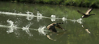 Two Canada geese fly off together from their home pond apparently running across the water, Midwest USA