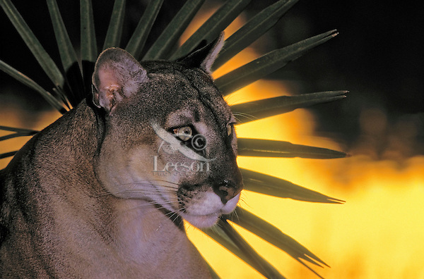 Florida Panther (Felis concolor coryi) at sunset framed by fan shape of saw palmetto leaves. Endangered Species. Florida.