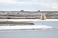 Waiting for the ice. Every fall, polar bears gather near the community of Kaktovik, Alaska, on the northern edge of ANWR, waiting for the Arctic Ocean to freeze. The bears have become a symbol of global warming.