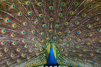 Peacock, Male Indian or Blue Peafowl Bird Displaying Irridesant Colorful Tail Feathers with Eyelike Markings, Point Defiance Park, Tacoma, Washington State, WA, America, USA.