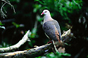 Adult pink pigeon (Columba mayeri) in native forest. Black River Gorges National Park, Mauritius, Indian Ocean. Endangered