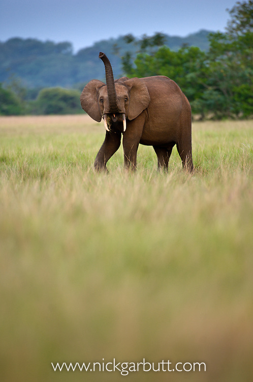 Bull Forest Elephant (Loxodonta africana cyclotis) in Loango National Park, Gabon, Central Africa.