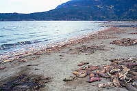 Annual Adams River Sockeye Salmon Run (Oncorhynchus nerka), Roderick Haig-Brown Provincial Park near Salmon Arm, BC, British Columbia, Canada - Dead Fish rotting along Shore of Shuswap Lake - note oily remains in left foreground