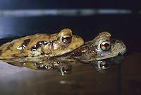 Erdkröte, Paarung, Kopulation, Kopula, Männchen Huckepack auf Weibchen, Erd-Kröte, Kröte, Bufo bufo, European common toad