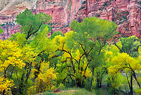 Grove of fall colored Cottonwood trees. Zion National Park, Utah