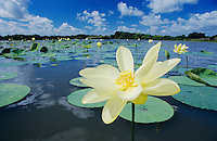 American Lotus (Nelumbo lutea), blooming, Welder Wildlife Refuge, Rockport, Texas, USA, May 2005