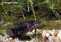BY09-010z  Siamese Fighting Fish - female - Betta splendens