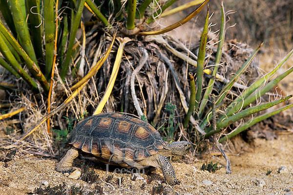 Desert Tortoise (Gopherus agassizii) walks past a yucca plant.  California desert.
