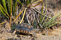 Desert Tortoise (Gopherus agassizii) walks past a yucca plant.  California desert.