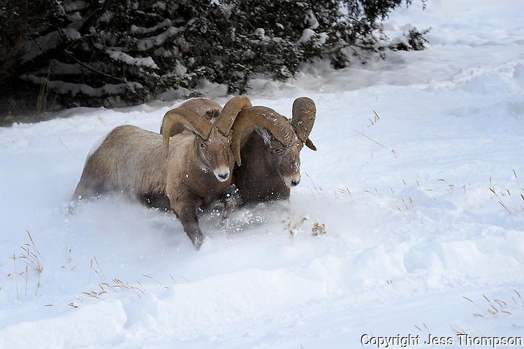 Bighorn Rams tussle in the snow, Cody, Wyoming