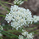 Corky-fruited water-dropwort (Oenanthe pimpinelloides), a perennial wildflower and member of the carrot family.