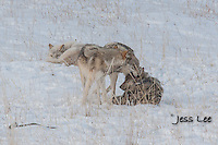 sub adult wolves playing with parents Wild Wolf photos from Yellowstone National Park