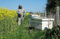 A beekeeper attending to bee hives at the side of an oilseed rape field at the rate of three quarters of an acre per hive..Lancashire.