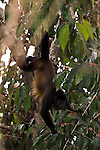 Howler monkey in Costa Rica. (genus Alouatta monotypic in subfamily Alouattinae) Among the largest of the New World monkeys, fifteen species are currently recognised. Previously classified in the family Cebidae, they are now placed in the family Atelidae. These monkeys are native to South and Central American forests.