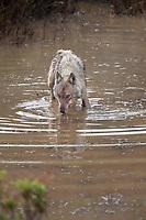 Wolf drinks in a small tundra pond, Denali National Park, Alaska.