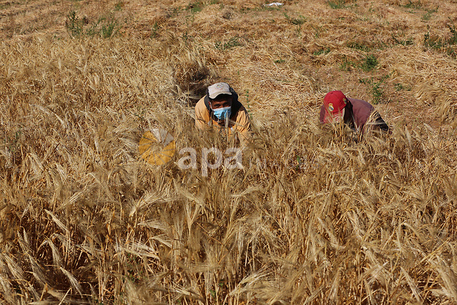 Palestinian farmers harvest wheat at a field in an area adjacent to the border with Israel, in Khan Younis in the southern Gaza Strip on May 02, 2021. Wheat is a grass widely cultivated for its seed, a cereal grain which is a worldwide staple food. The unemployment rate was about 16% in the West Bank in 2020 compared with about 15% in 2019, while the unemployment rate was about 47% in Gaza Strip in 2020 compared with 45% in 2019. Photo by Ashraf Amra