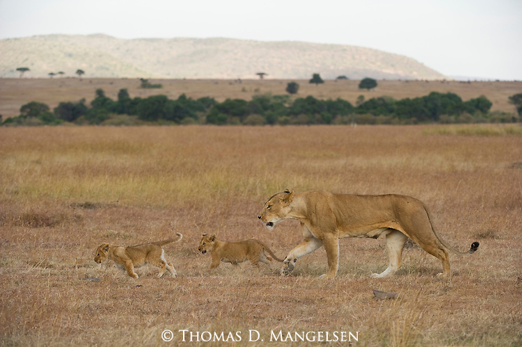 A lioness and her cubs walk across the plains of Maasai Mara, Kenya.