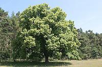 Sommer-Linde, Sommerlinde, Linde, Tilia platyphyllos, Large Leaved Lime