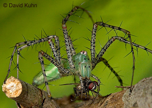 "0515-07mm  Green Lynx Spider  Consuming Fly - Peucetia viridans  ""Eastern Variation"" - © David Kuhn/Dwight Kuhn Photography"