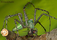 "0515-07mm  Green Lynx Spider  Consuming Fly - Peucetia viridans  ""Eastern Variation"" - © David Kuhn/Dwight Kuhn Photography"