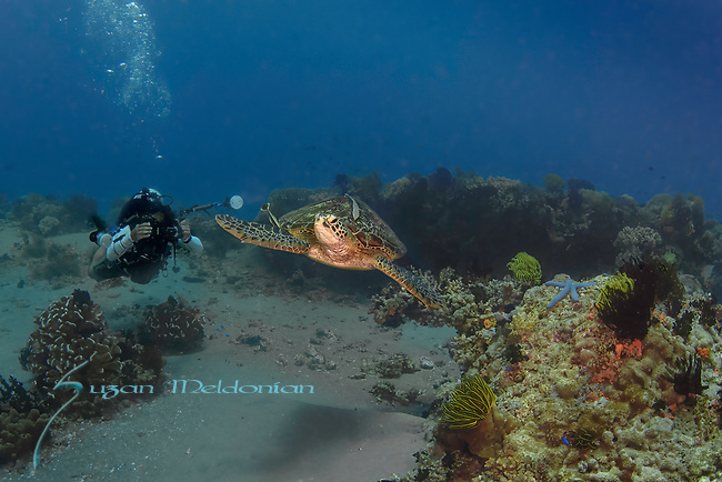 Green turtle with diver, Chelonia mydas, on colorful reef, Apo Island, Philippines