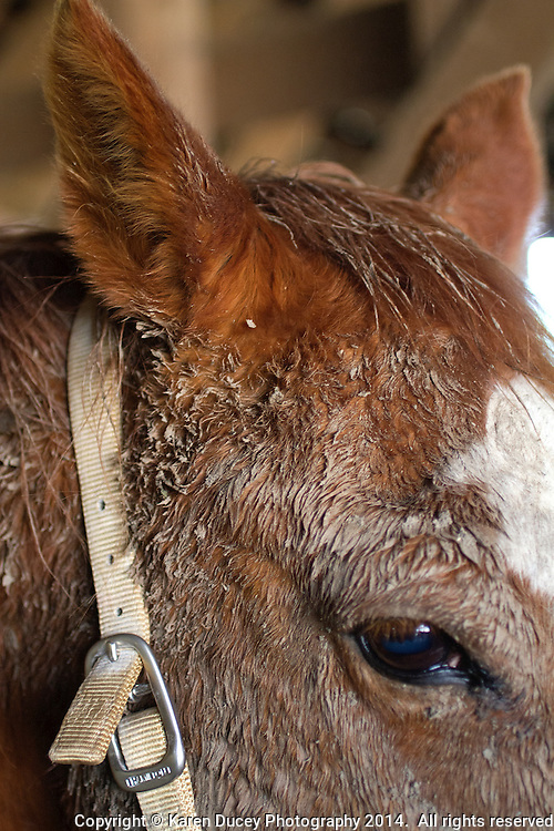 A quarterhorse looks up from under a mud caked face in Oso, Wash. on April 1, 2014. Veterinarians and volunteers help out on Summer Raffo's property in Oso, Washington providing 16 horses with basic veterinary care, grooming and fresh hay.