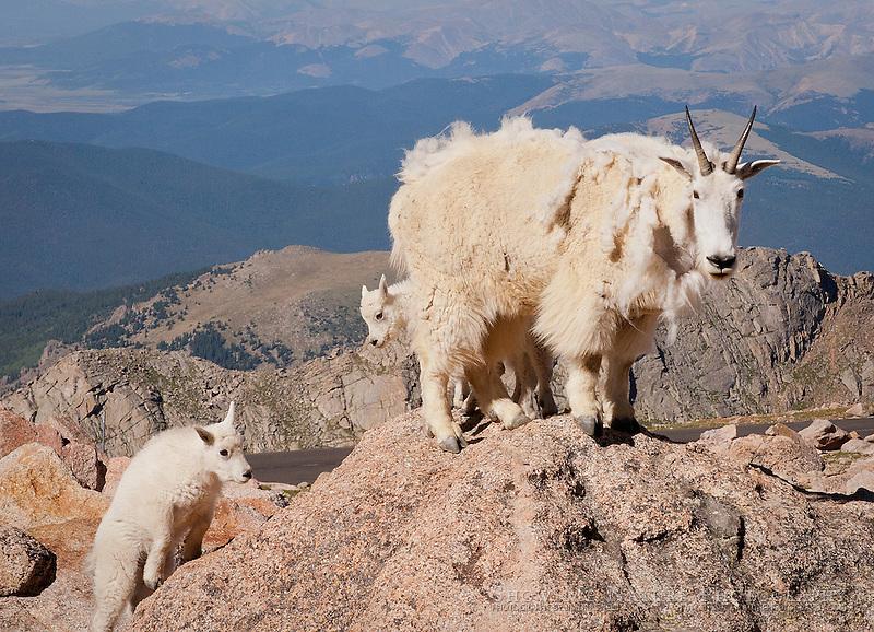 Mountain Goat ewe and kids on mountain top