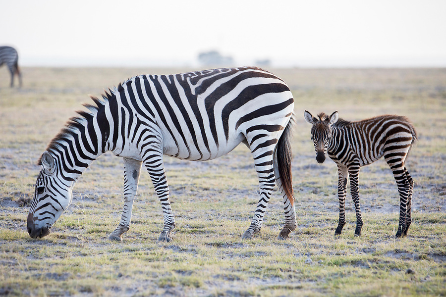 A zebra and her foal are photographed in Amboseli National Park in Kenya. 1/24/2017 IFAW/Julia Cumes