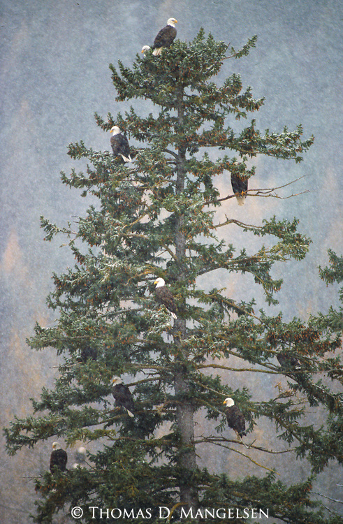 Bald eagles perch together in a tree in Glacier National Park, Montana.