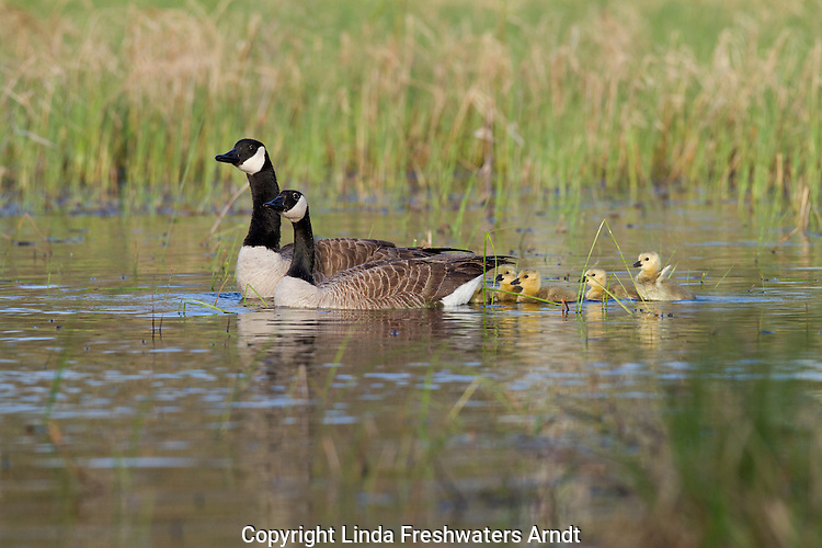 Canada geese and goslings