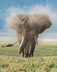 Elephant dusts itself off as it tries to stay cool by Michael Snedic