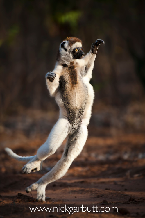 Adult Verreaux's Sifaka (Propithecus verreauxi) 'dancing' or 'skipping' across open ground. Gallery forest, Berenty Reserve, southern Madagascar.