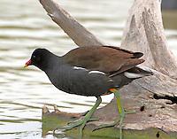 Common gallinule in nonbreeding plumage
