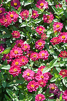 Zinnia 'Profusion Rose' annual flower in summer bloom