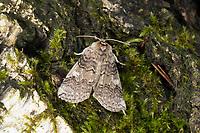 Pappel-Eulenspinner, Pappeleulenspinner, Wollrückenspinner, Pappel-Wollrückenspiner, Tethea or, Palimpsestis or, Poplar Lutestring, L'Or, la Double-Bande brune, Sichelflügler, Drepanidae, hooktip moths