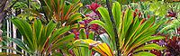 Ti plants. Hawaii Tropical Botanical Gardens. Hawaii, The Big Island.