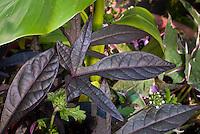 Ipomoea 'Sweet Caroline Purple' sweet potato annual vine with ornamental lobed foliage