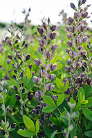 Baptisia 'Chocolate Chip'