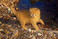 wild blue eyed yellow tabby playing by lake, midwest USA
