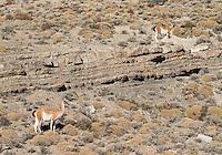 Guanacos are ubiquitous in and around Torres del Paine.