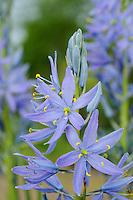 Camassia leichtlinii subsp.suksdorfii 'Electra'
